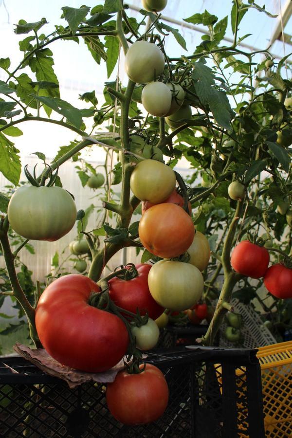 Самый большой помидор и самая большая кисть