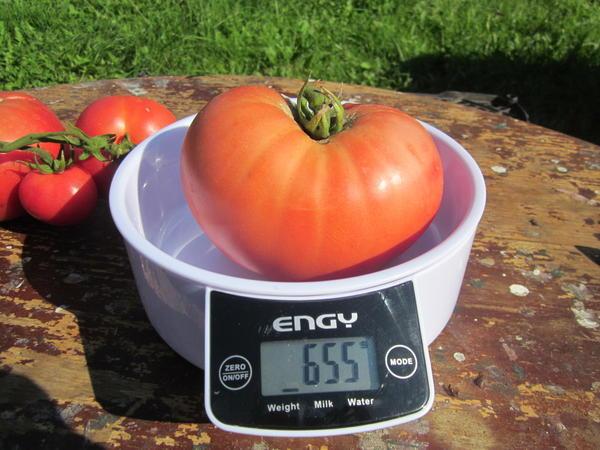 Самый большой помидор