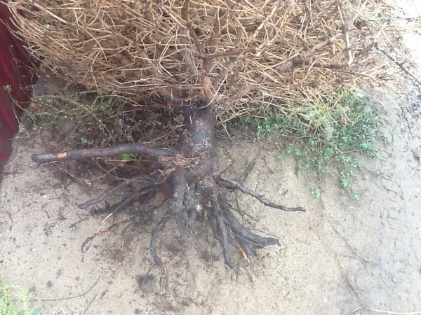 Вот такие корни оказались у моей елочки