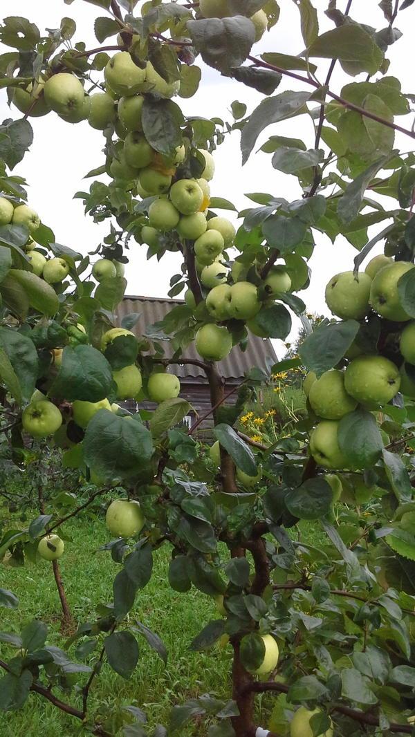 Урожай с молодой яблоньки.