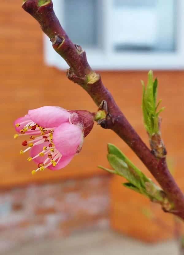 Распустился цветок персика сорта Ветеран.