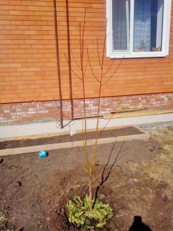 Саженец персика сорта Ветеран (2-х летка)