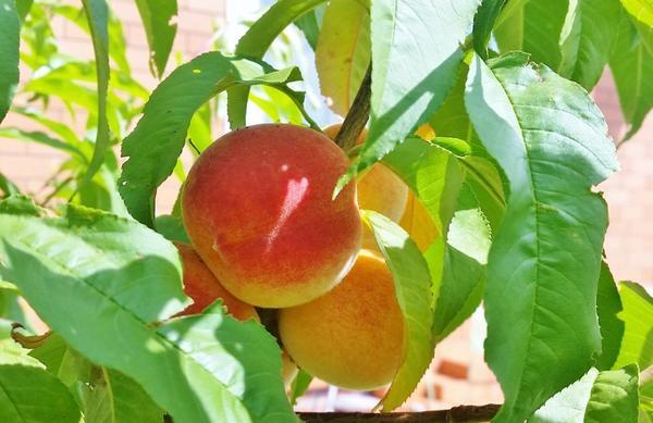 Плоды персика сорта Ветеран.