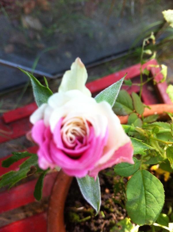 iz 4erenka rozovoi rozi