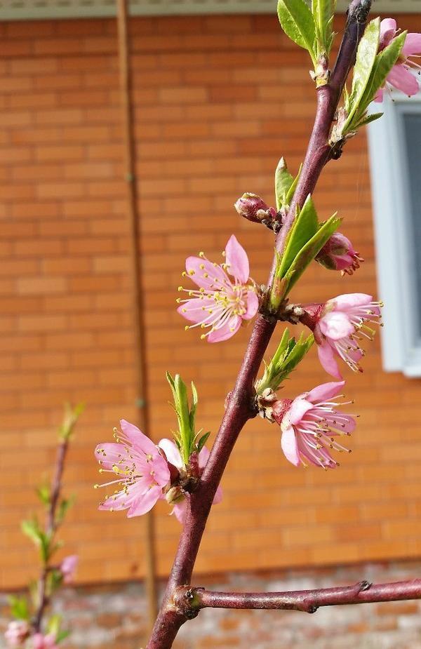 Цветение персика сорта Ветеран