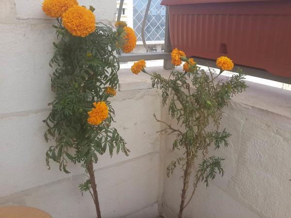 бархатцы привяли и какие-то точки на стебле. Растут на балконе 2 куста - 1 более менееб а второй выглядит печально. Как можно помочь?