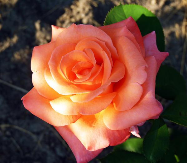 Бутон розы чайно-гибридной Султан