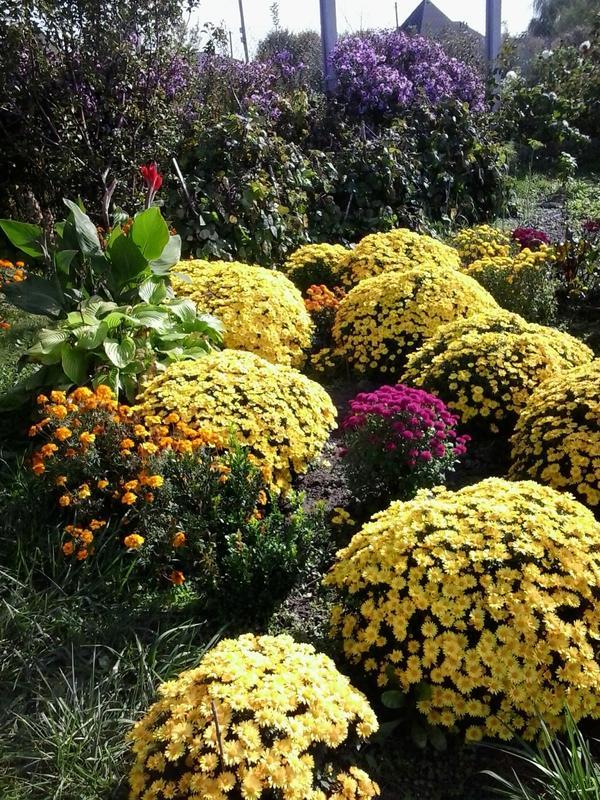 очень люблю хризантемы