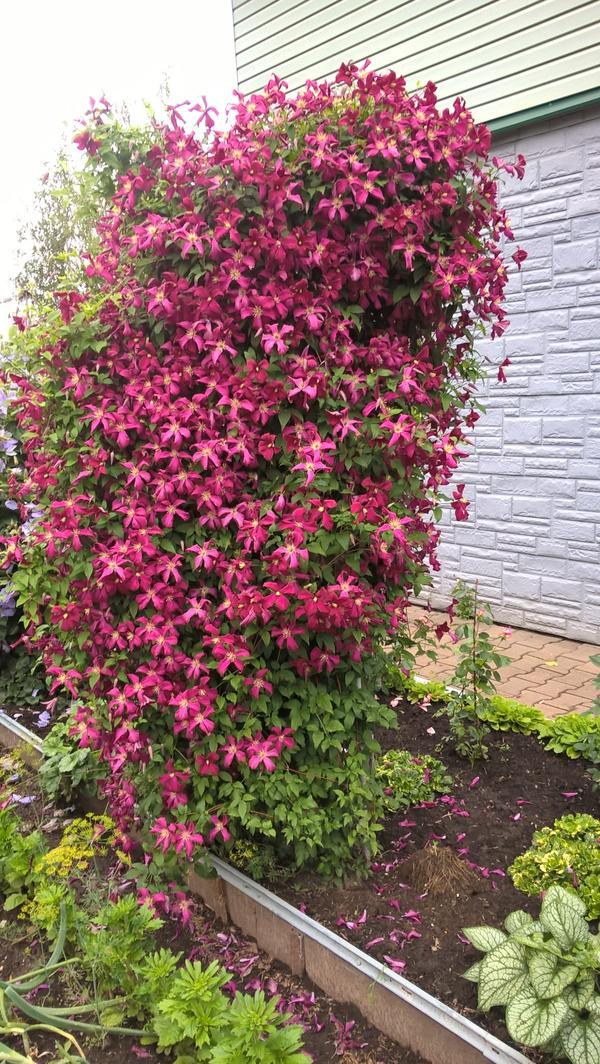 Мой клематис из группы Жакмана. Называется Юбилейный 70. Очень декоративная лиана. Цветёт с июня по август.