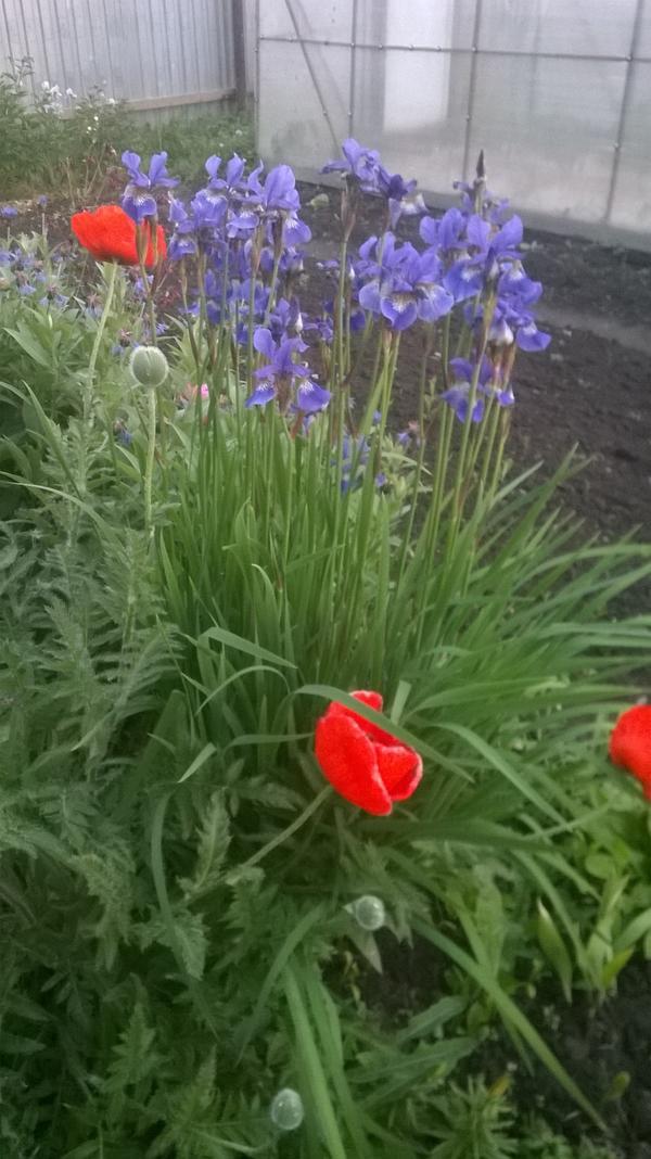 Мелкий ирис в цветах