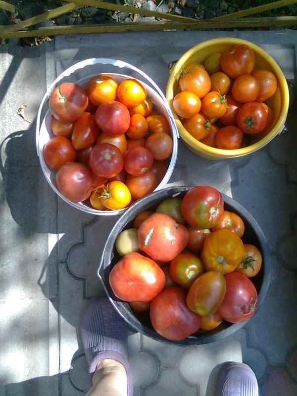 помидоры в 10 литровых ведрах без выбора