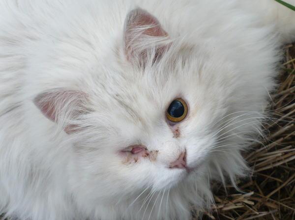 Это Пусечка моя. 16 лет прожила, лето не стало её. Глаз висел, второй гноем был покрыт. ветеринар сказал - ничего не надо делать, отпадёт. Отпал. Подобрала