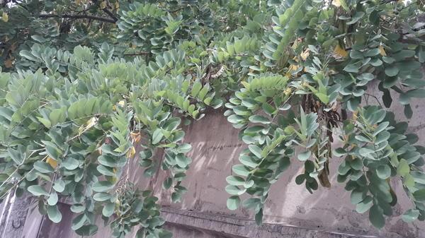 Подскажите пожалуйста! Что это за дерево?