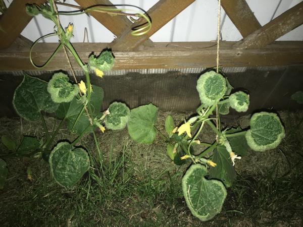 Огурцы рассада листья скручиваются 92