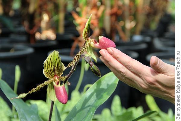 светолюбивые цветущие орхидеи
