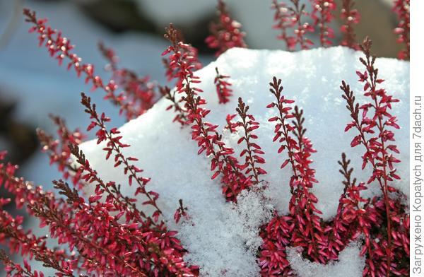 Укрытие растений снегом