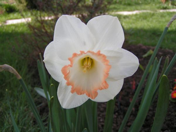 Нарцисс Spring Pride