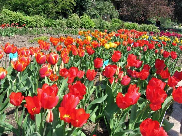 Тюльпаны в Никитском ботаническом саду