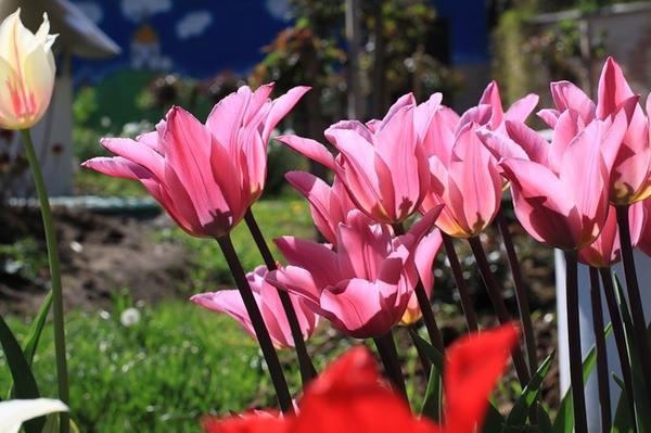 Тюльпан лилиецветный Джаз