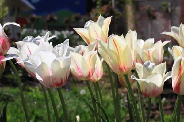 Тюльпан лилиецветный Мэрилин