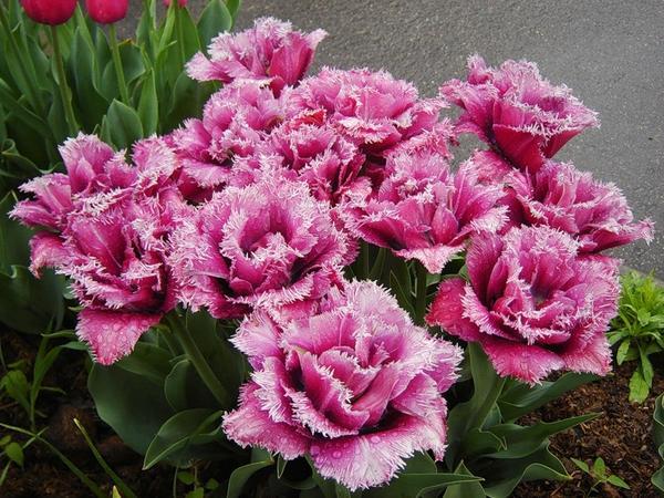 Тюльпан бахромчатый Маскотт