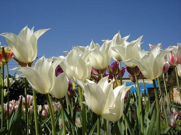 Тюльпан лилиецветный Трес Чик