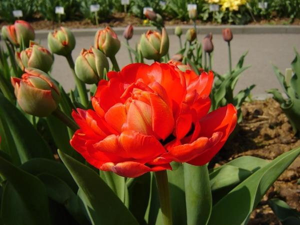 Тюльпан махровый поздний Миранда