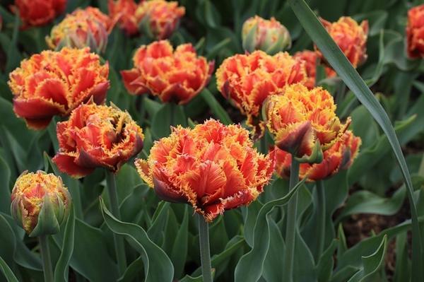 Тюльпан бахромчатый Голд Даст