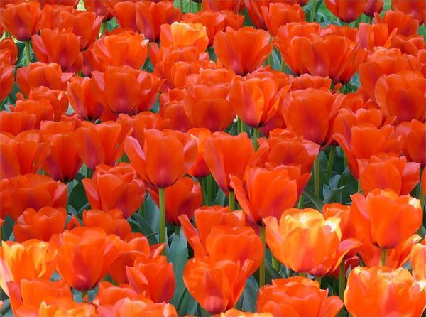 Тюльпаны Дилленбург (Тангерин)