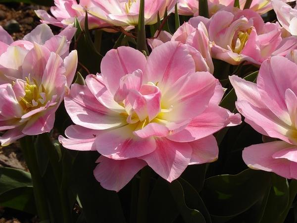 Тюльпан махровый ранний Пич Блоссом