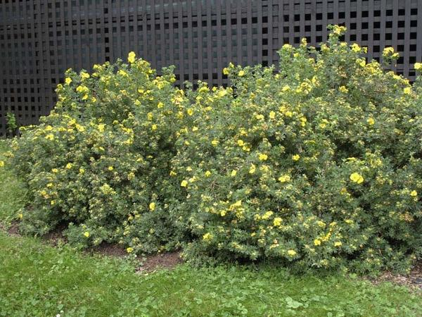 Лапчатка кустарниковая желтая