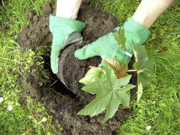 Высадка рассады клещевины в грунт