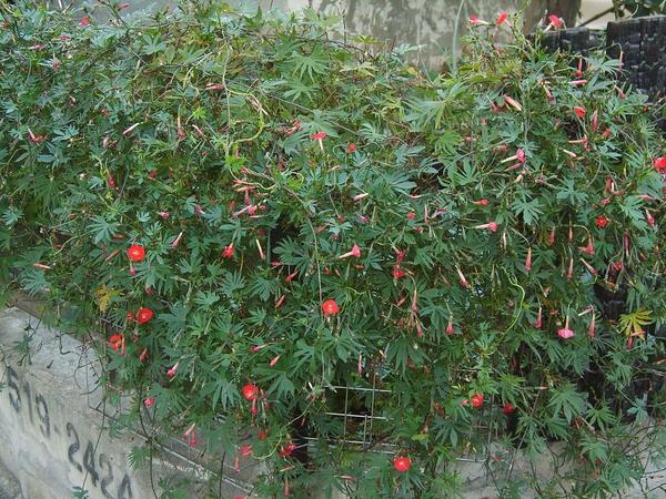 Квамоклит Слотера (кардинальская лиана)