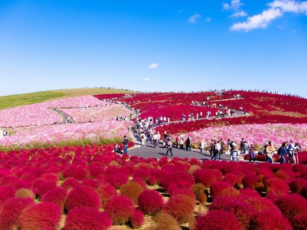 Красная кохия в японском парке