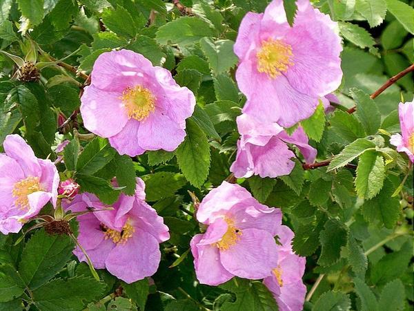 Шиповник морщинистый, цветы