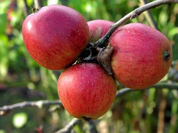 Сорт яблок Орлик