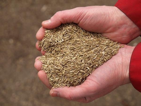 Сколько семян нужно для газона?