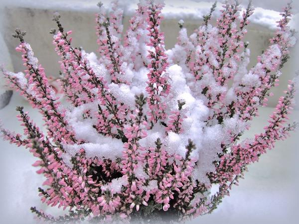 Вереск под снегом