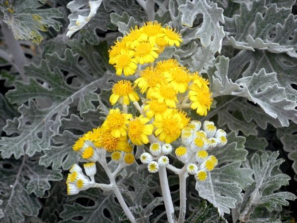 Цинерария приморская цветет