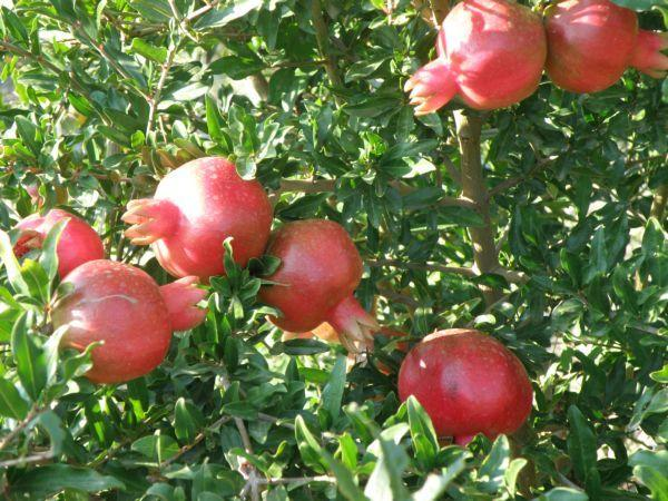 Плоды граната сорта Гюлоша розовая