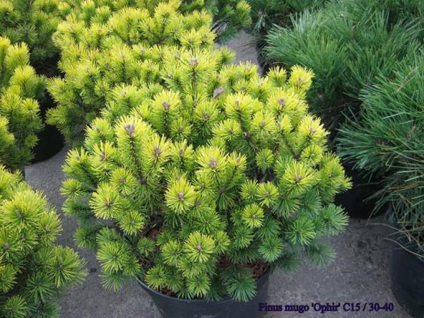 Pinus mugo 'Ophir'. Фото с сайта www.iris.md