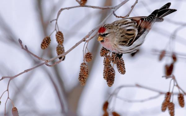 Птица на ольхе