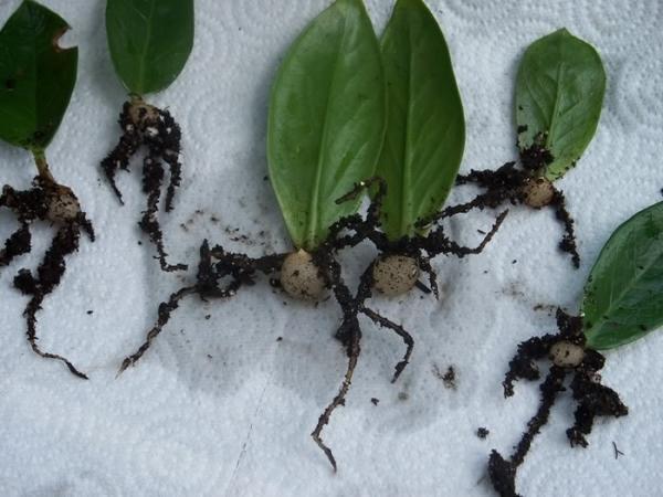 Части листа, пустившие корни. Фото с сайта syl.ru