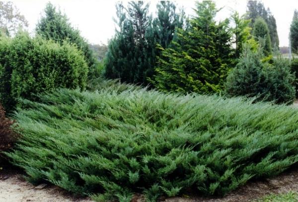Juniperus sabina Tamariscifolia. Фото с сайта www.baltezers.lv