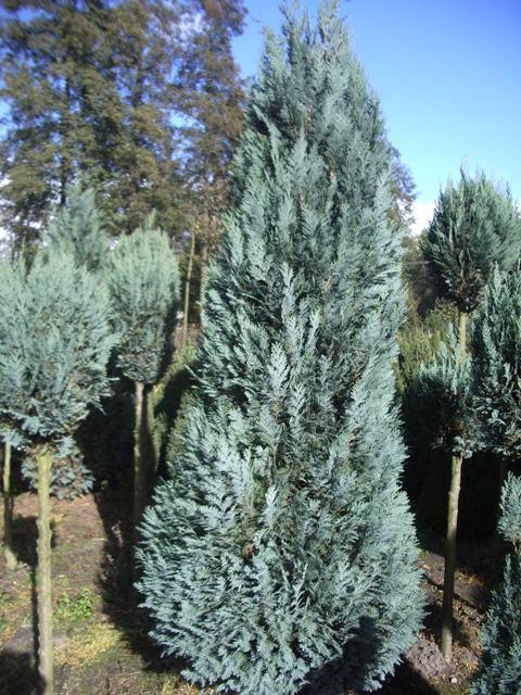 Кипарисовик Лавсона Alumii. Фото с сайта  www.arborix.be