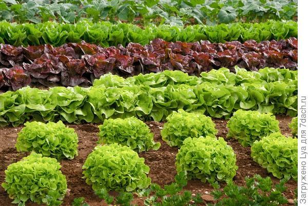 Очень важно правильно подбирать сорта для повторных посевов и посадок