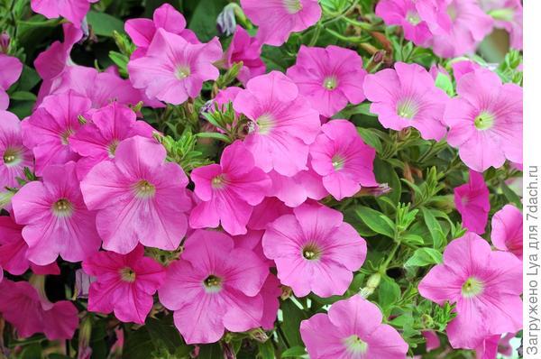 Растения-привлекатели тли
