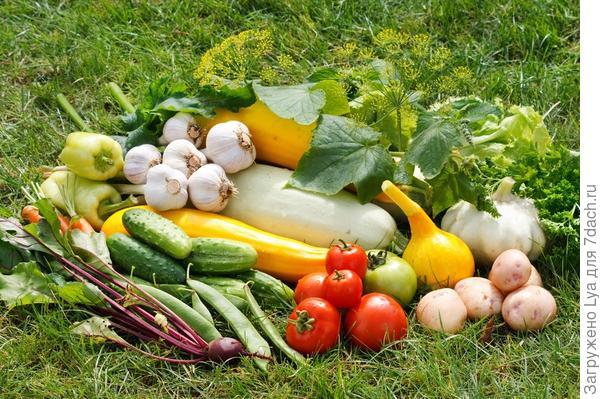 Регулярно снимаем созревшие овощи