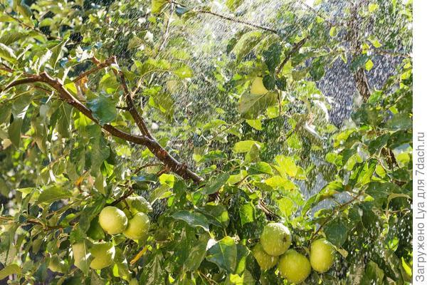 Правильно организованный полив способен повысить урожайность яблонь на 25-40 %