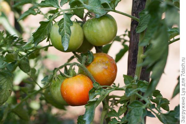Как ускорить созревание зелёных томатов